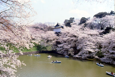 cherry blossom at imperial palace
