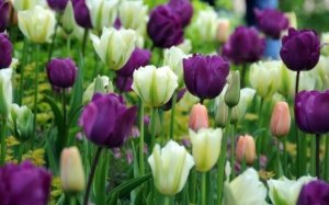 keukenhof-tulip